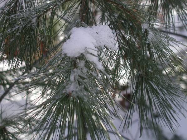 White White Pine