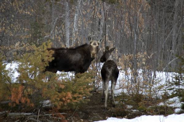 Moose