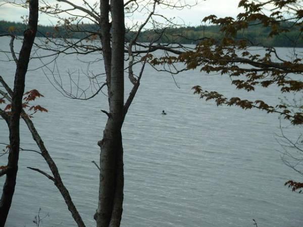 Lake Auburn loon