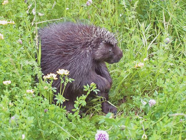 Porcupine Looking Around
