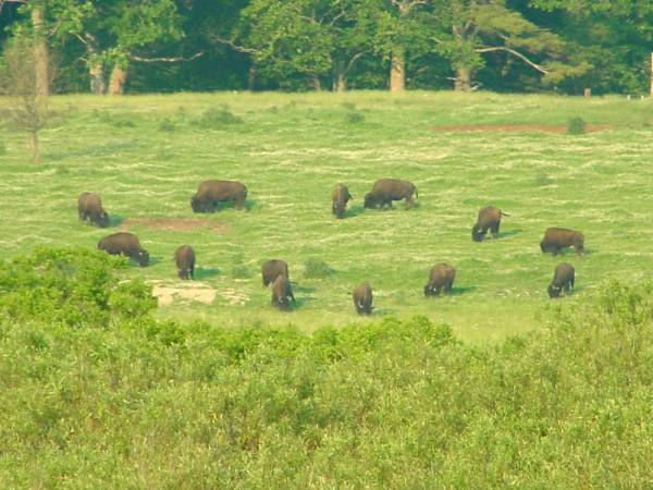 Maine Buffalo Herd
