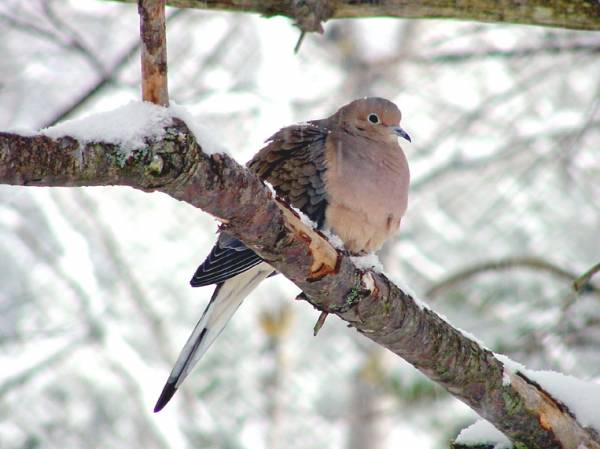 Mourning Dove in Snowstorm