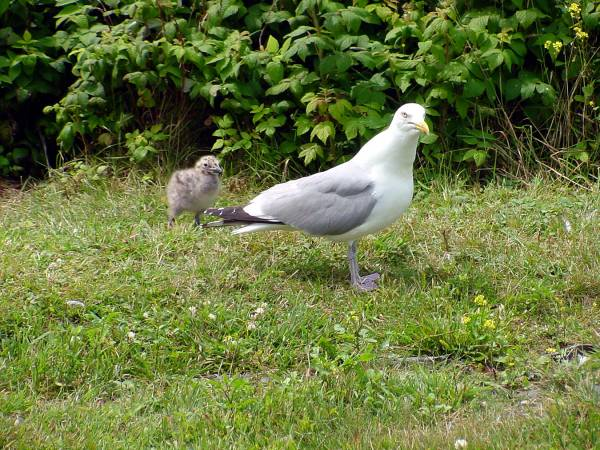 Seagull  with Young