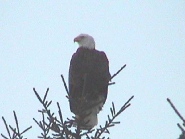 Eagle 50 feet from my house
