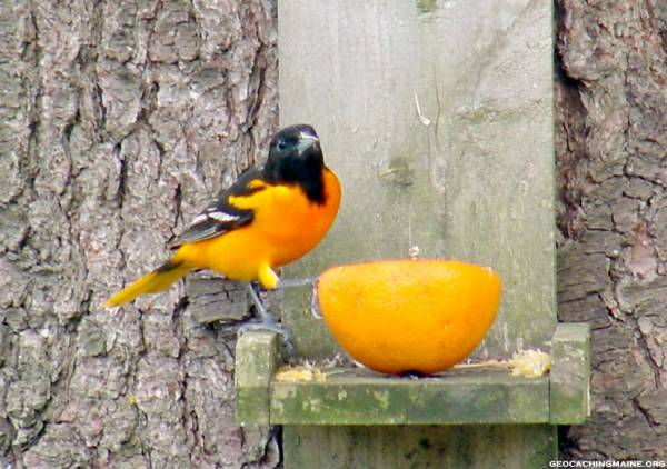 Oriole stops for Snack