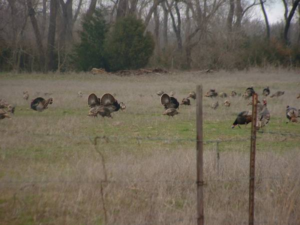 More KS Turkeys