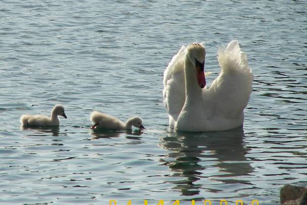 MOM_swan_and_bay