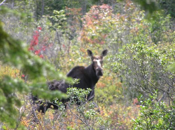 Peek-a-Boo Moose