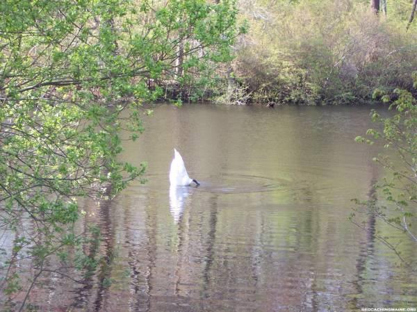 Swan - Feeding, Jenny's Pond, Plymouth, MA
