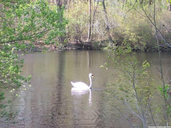 Swan, Jenny's Pond, Plymouth, MA