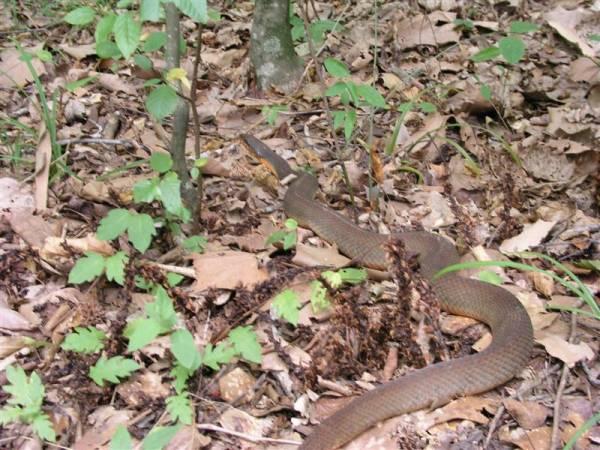 Local SC snake