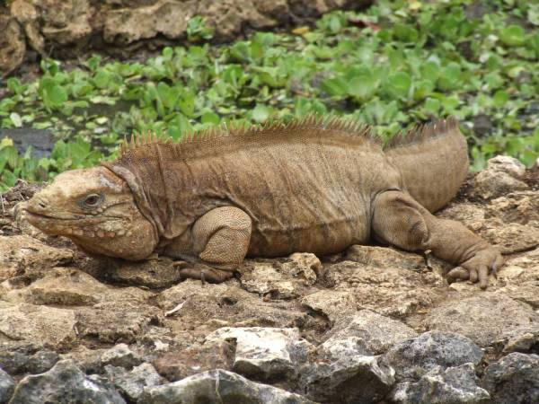 Barbados Wildlife Refuge . . . iguana
