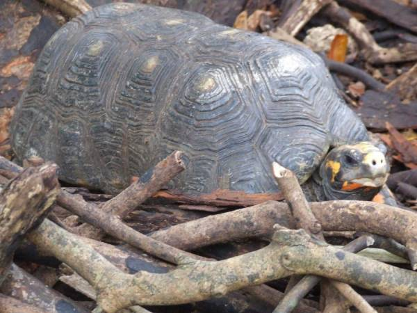Tortoise at Barbados Wildlife Refuge