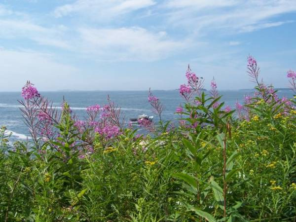 Pemaquid Point flowers
