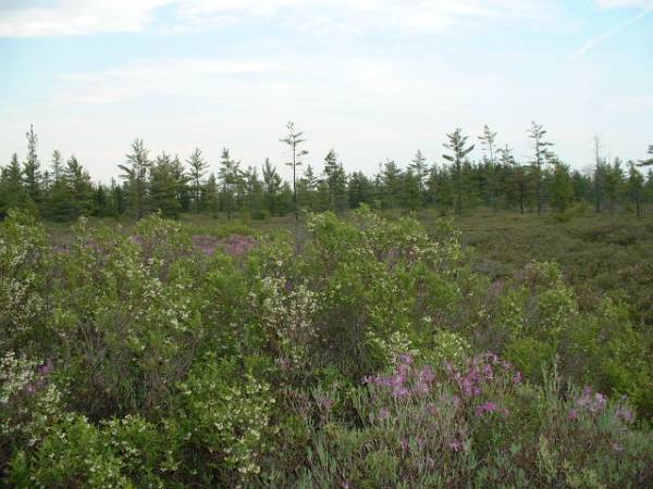 Saco Heath heather