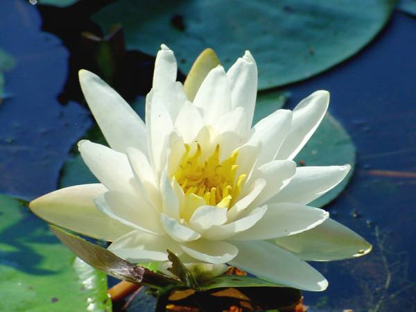 White Pond Lily
