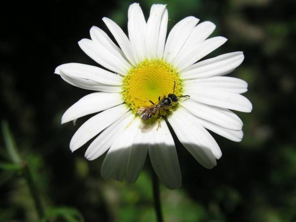 Daisy and the Bee