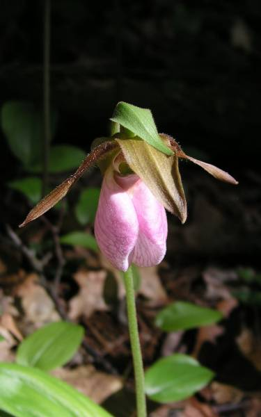            Ladyslipper