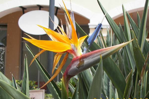 Bird_of_paradise