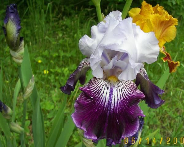 bearded_Iris